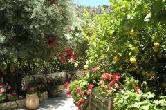 olivetree0006