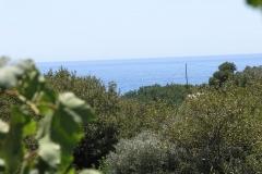 olivetree0011